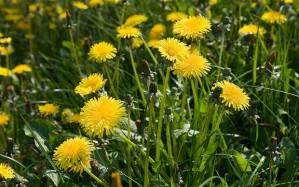 dandelions-_2205021b